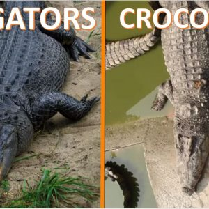 Alligators Vs Crocodiles - Forestrypedia