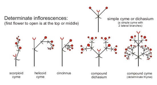 Inflorescence1 - Forestrypedia