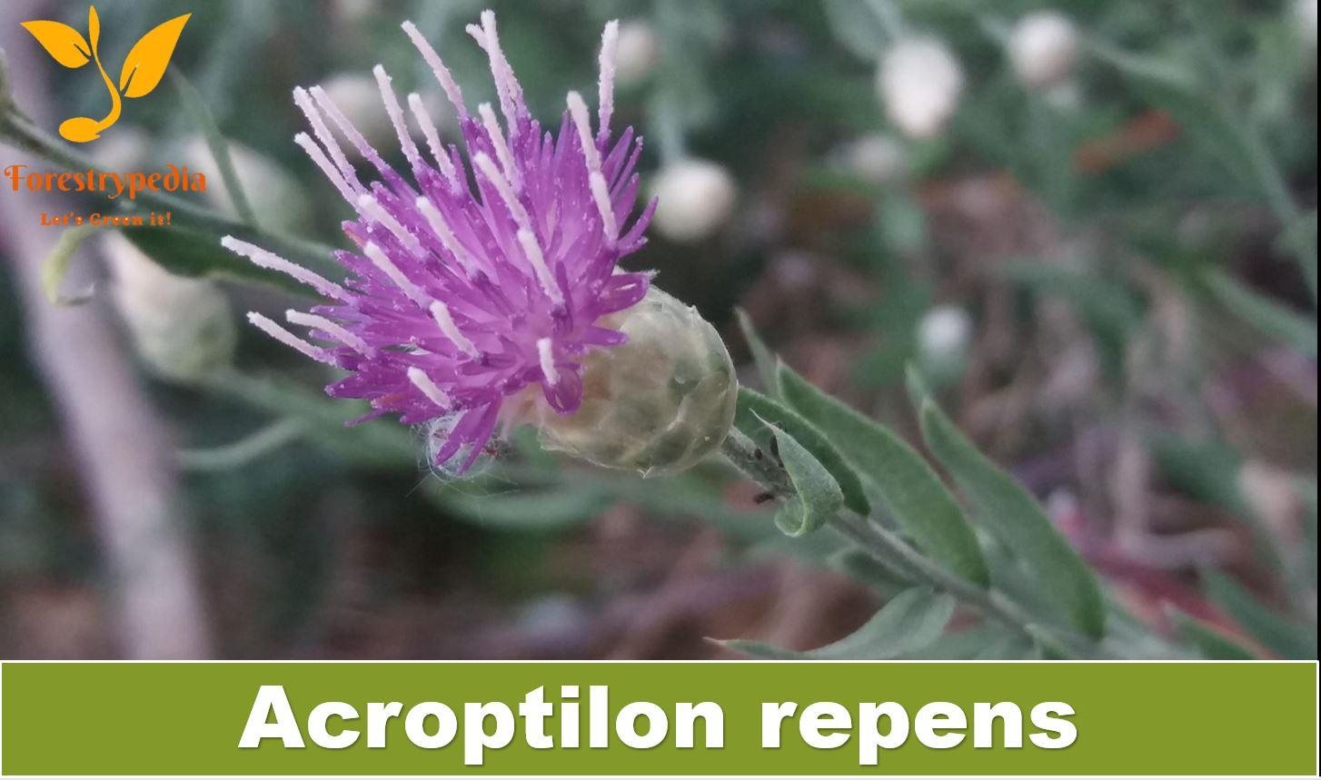 Acroptilon repens
