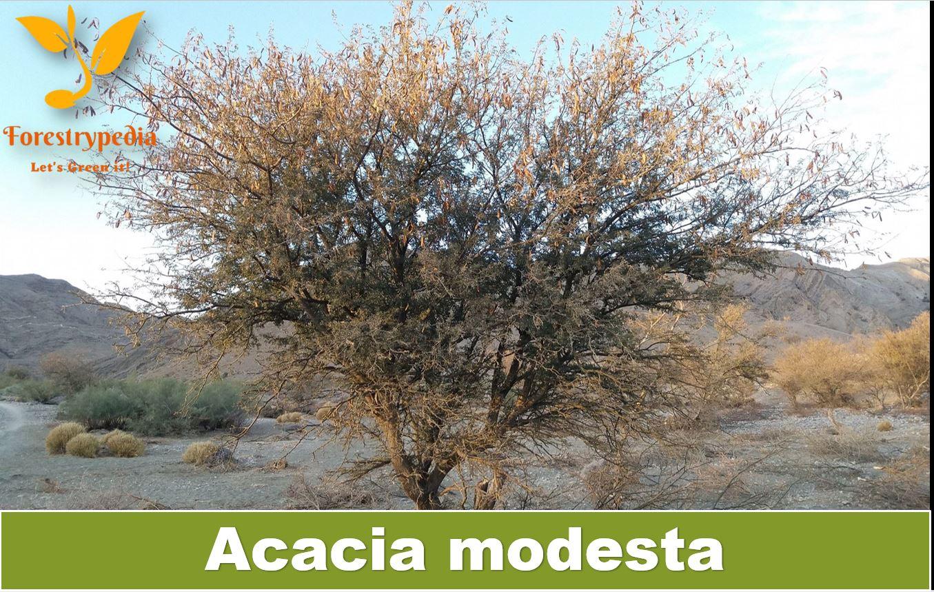 Acacia modesta - Tech Urdu